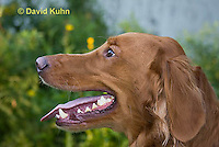 0801-0827  Golden Retriever with Reddish Colored Coat, Canis lupus familiaris © David Kuhn/Dwight Kuhn Photography.