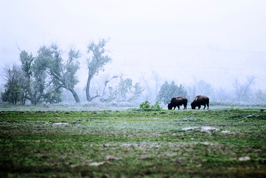 Bison graze in a lifting mist in Theodore Roosevelt National Park.