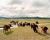 MONGOLIA, Khargana Sair, Khuvsgul National Park, yaks walk through wide open grasslands