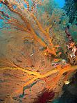 Kenting, Taiwan -- Beautiful orange sea fan (Gorgonian) with anthias and damselfish.