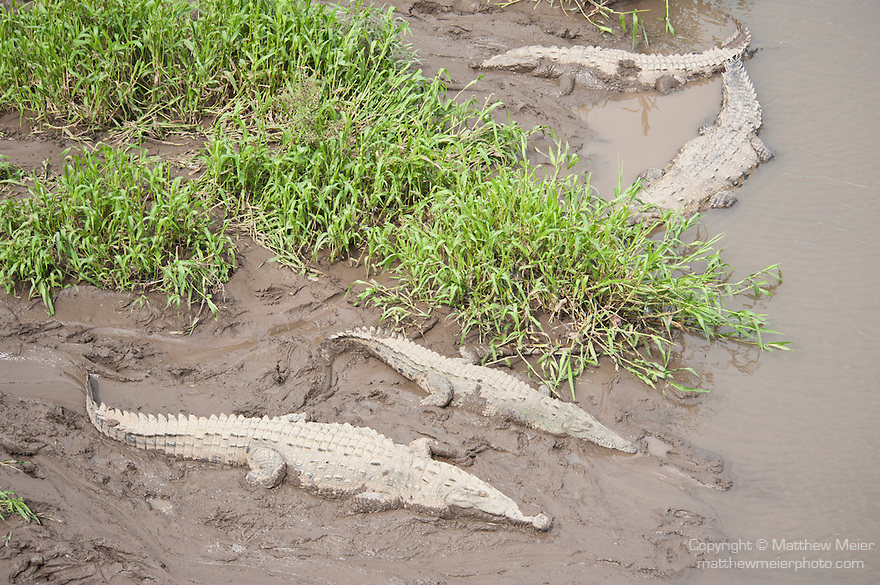 Tarcoles River, Costa Rica; a bask, or group, of American Crocodiles (Crocodylus acutus) along the banks of the Tarcoles River