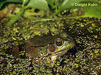 FR18-007a  Green Frog - adult in duckweed pond - Lithobates clamitans, formerly Rana clamitans
