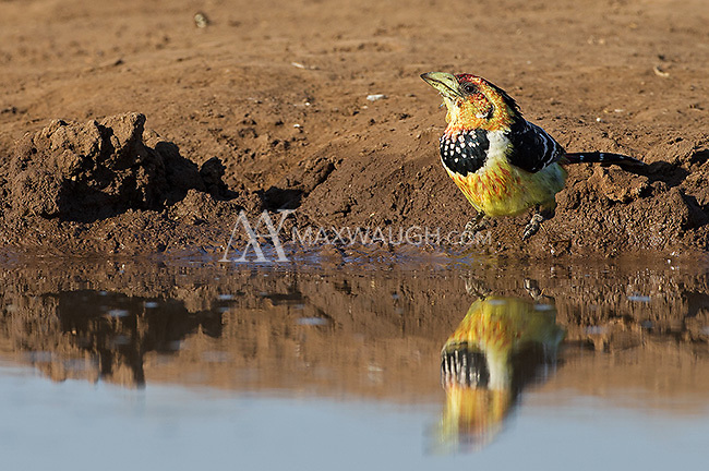 A crested barbet seen at Mashatu Game Reserve.