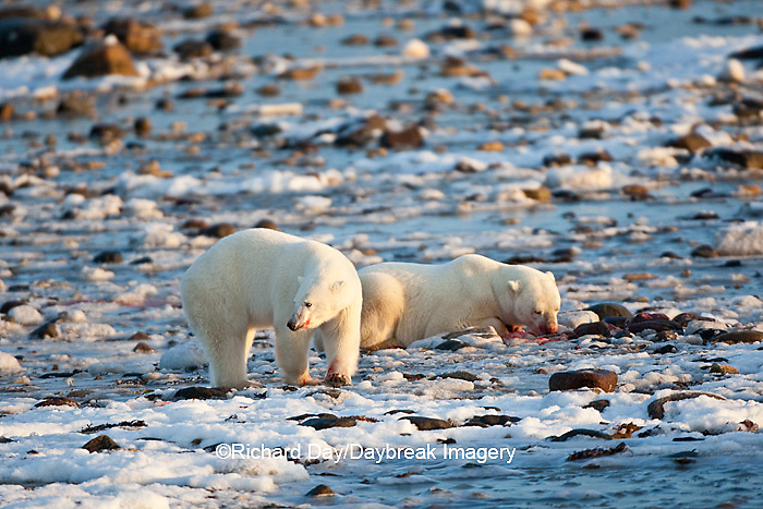 01874-11908 Polar Bears (Ursus maritimus) at seal kill, Churchill Wildlife Management Area, Churchill, MB Canada