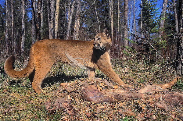Cougar/Mountain Lion/Puma (Felis concolor) female glances toward sudden noise while caching carcass of a white-tailed deer for later comsumption by covering it with leaves and debris. Rocky Mountains, North America.