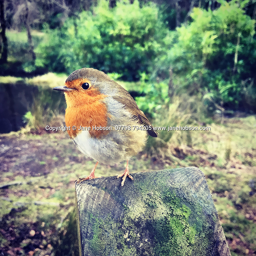 Glencoe Lochan, Ballachulish, Highlands, Scotland, UK. 08.01.2019. A friendly Robin perches on a fence post by Glencoe Lochan, Ballachulish, Highlands, Scotland, UK. Photograph © Jane Hobson.