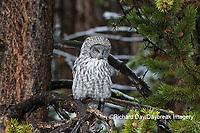01128-00202 Great Gray Owl (Strix nebulosa) Yellowstone National Park, WY