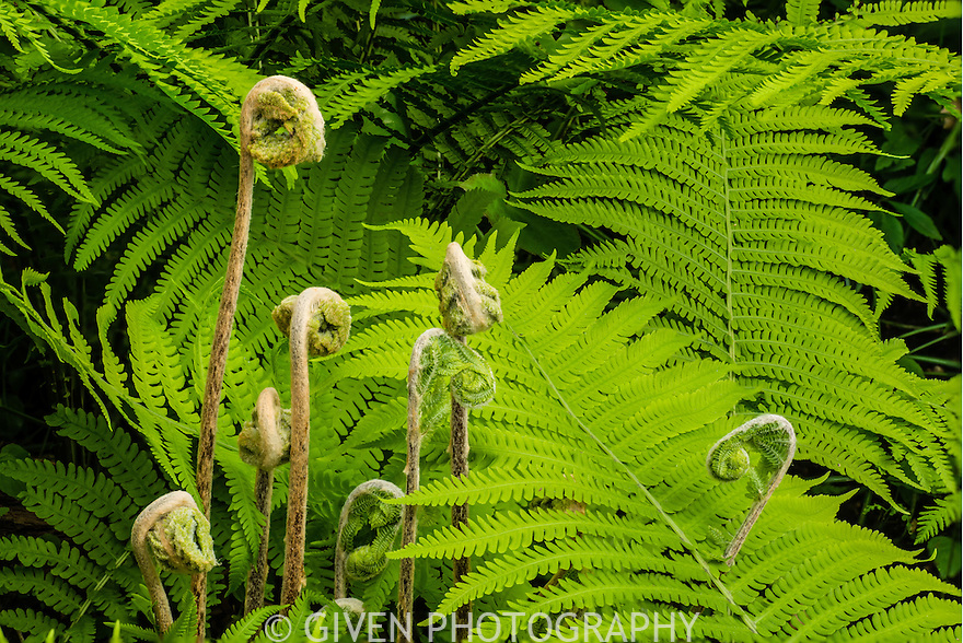 Wood Ferns, Washington