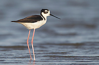 Black-necked Stilt - Himantopus mexicanus - Adult female10