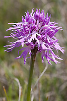 Italienisches Knabenkraut, Orchis italica, syn. Orchis longicruris, Orchis undulatifolia, naked man orchid, naked-man orchid, Italian orchid, Italien, Sizilien
