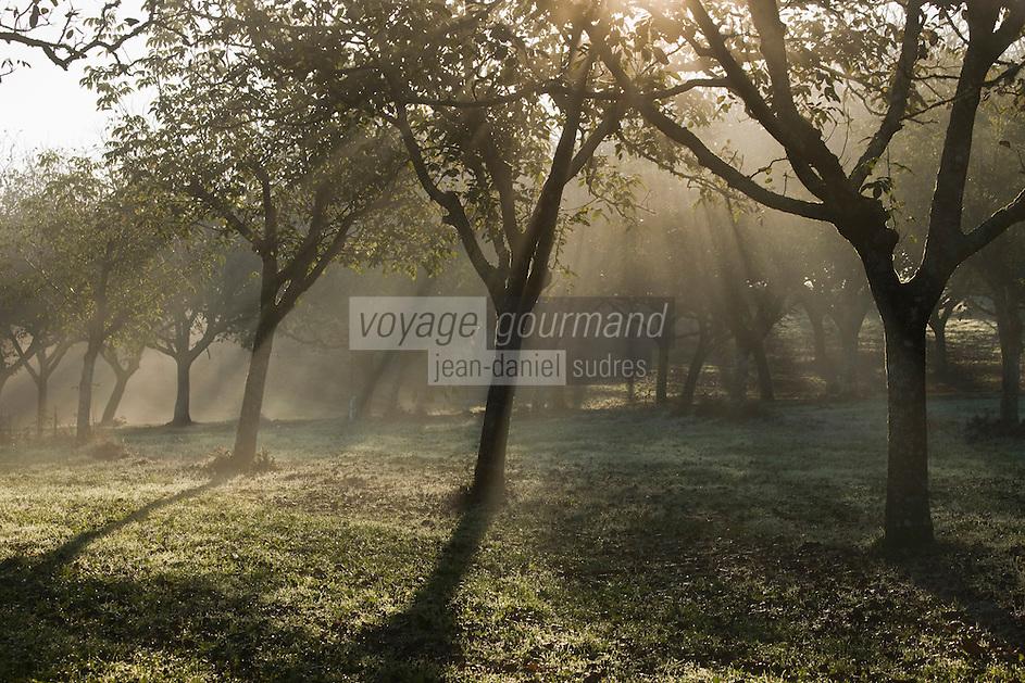 Europe/France/Aquitaine/24/Dordogne/Vallée de la Dordogne/Périgord Noir/Fayrac: Brumes matinales sur une noyeraie