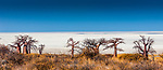 Botswana, Africa, Makgadikgadi Pans National Park, baobabs (Adansonia digitata)<br /> <br /> Canon EOS 5DS R, EF24-70mm f/4L IS USM lens, f/8 for 1/320 second, ISO 200