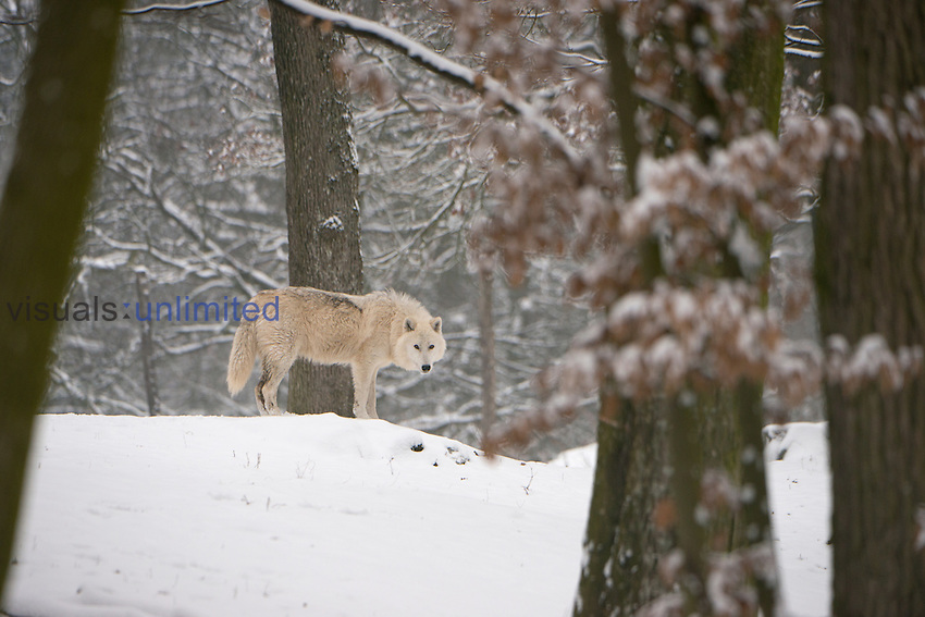 North American Timber Wolf (Canis lupus) in snow in deciduous forest.