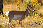 Pronghorn Female, Lamar Valley, Yellowstone National Park, Wyoming