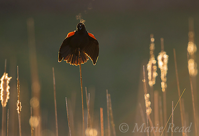 Red-winged Blackbird (Agelaius phoeniceus) male displaying, backlit, Ithaca, New York, USA