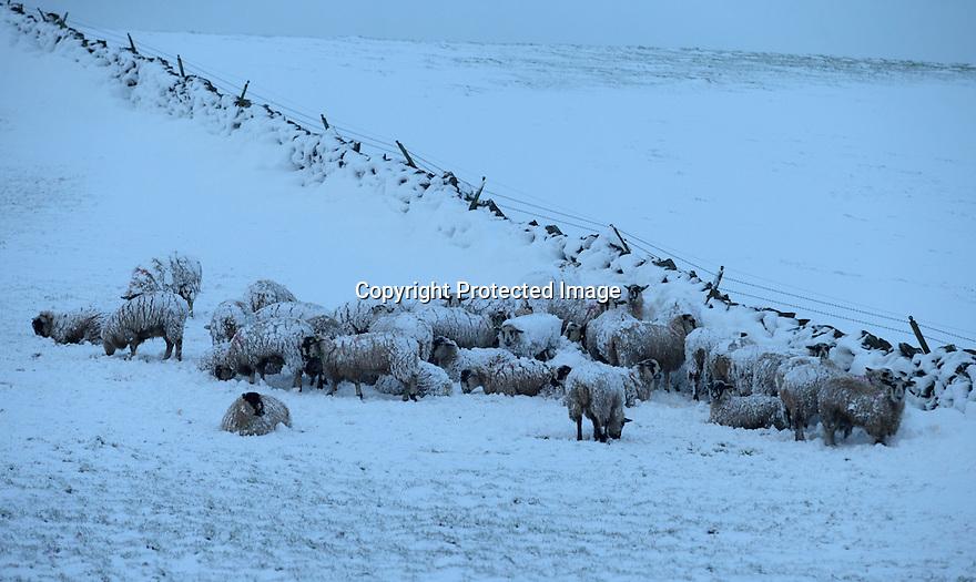 13/01/17<br />  <br /> Snowy sheep near Hartington in the Derbyshire Peak District.<br /> <br /> All Rights Reserved F Stop Press Ltd. (0)1773 550665   www.fstoppress.com