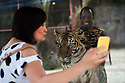 "A Chinese tourist takes a 'selfie' with the tiger and its ""handler"", Tony Kazungu, 35, at the Sriracha Tiger Zoo, one of the most frequented attractions in Pattaya. Kazungu came over to Thailand from Mombasa, Kenya, 15 years ago to work at Thai tourist attractions first as an acrobat and now as a tiger handler. Although he is not there specifically to cater to Chinese tourists, tigers have big symbolism in China and he draws a big crowd. The tourists appear to see nothing wrong or unusual about an African man being on display in the same glassed-off cage as the tiger."