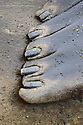 Front flipper of Southern Elephant Seal bull (Mirounga leonina) showing the five nails and webbing between each digit. King Haakon Bay, South Georgia. November.