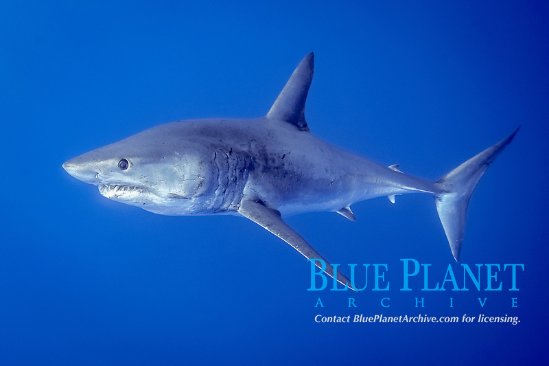 shortfin mako shark, Isurus oxyrinchus, swims near the Azores Bank offshore Pico Island, Azores, Portugal, Atlantic Ocean