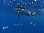 Mahi Mahi, Dolphin, Dolphinfish, Dolphin fish, Dorado