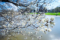 Blossoms next to Eckie's Pond.<br /> (photo by Russ Houston / &copy; Mississippi State University)