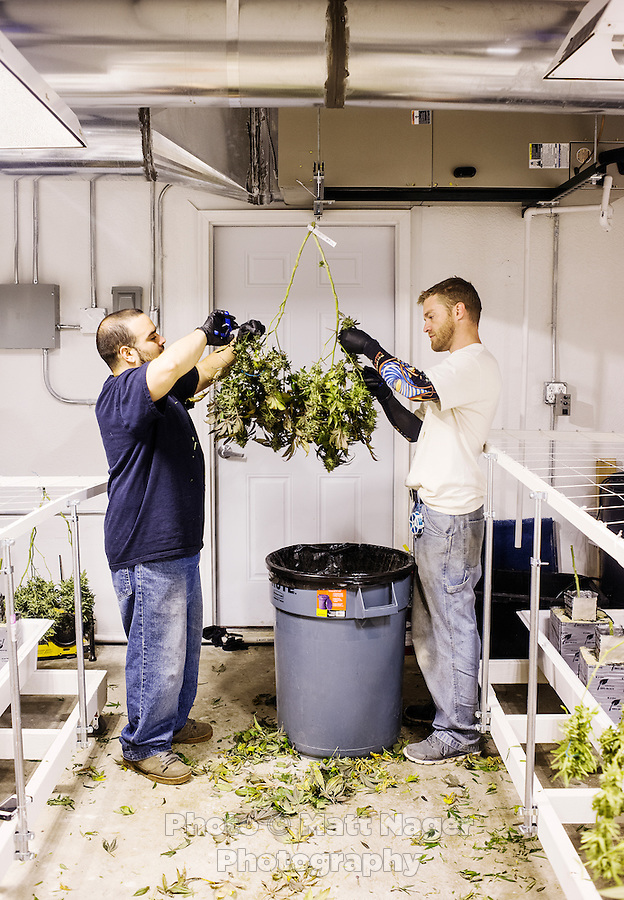 Joe Rey (cq, left) and Kris Palmer (cq) trim a marijuana plant at the 3D Medical Marijuana Center grow house and store in Denver, Colorado, Tuesday, November 12, 2013. <br /> <br /> Photo by Matt Nager