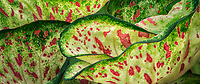 Close up of caladium leaves.