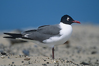 540070001 a wild adult laughing gull larus atricilla stands on a shell covered sandy knoll at boca chica beach along the texas gulf coast