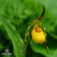 """Yellow Moccasin Flower"" ~ This rain-drenched Yellow Moccasin Flower was growing as part of a colony in the woods near Duluth. This native orchid is also known as a Yellow Lady's Slipper (Cypripedium calceolus)."