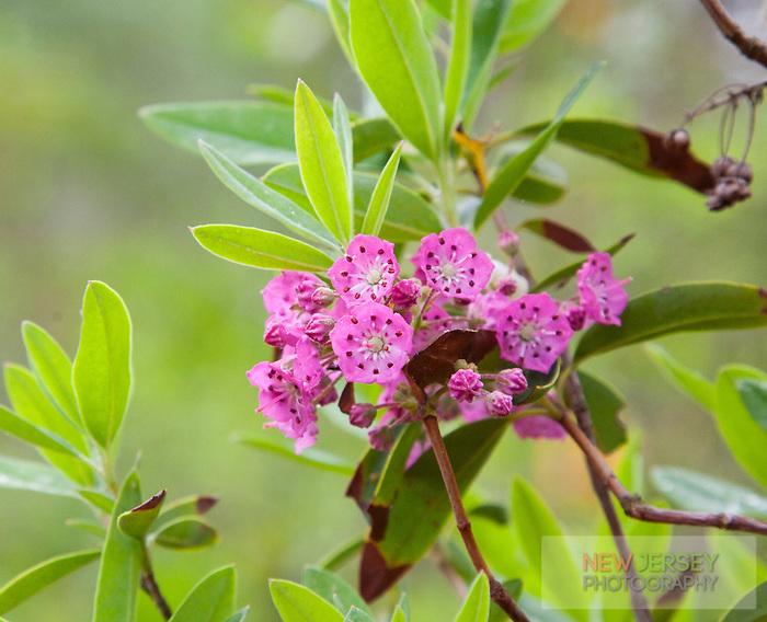 Sheep-Laurel wildflowers, Pinebarrens, New Jersey