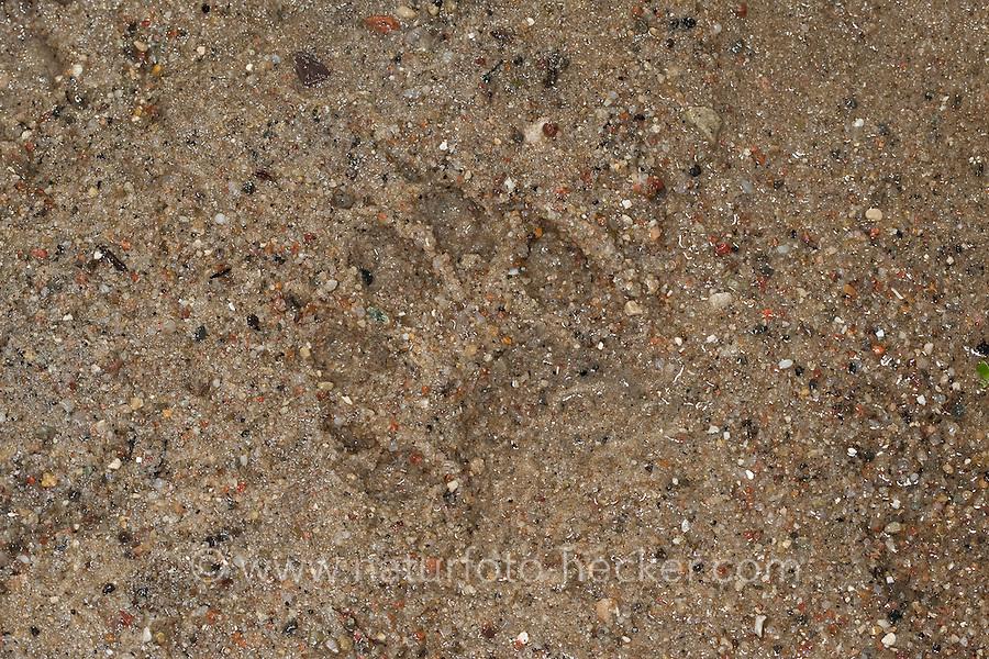 Waschbär, Spur, Trittsiegel, Fußabdruck im Schlamm, Waschbaer, Wasch-Bär, Procyon lotor, Raccoon, Raton laveur