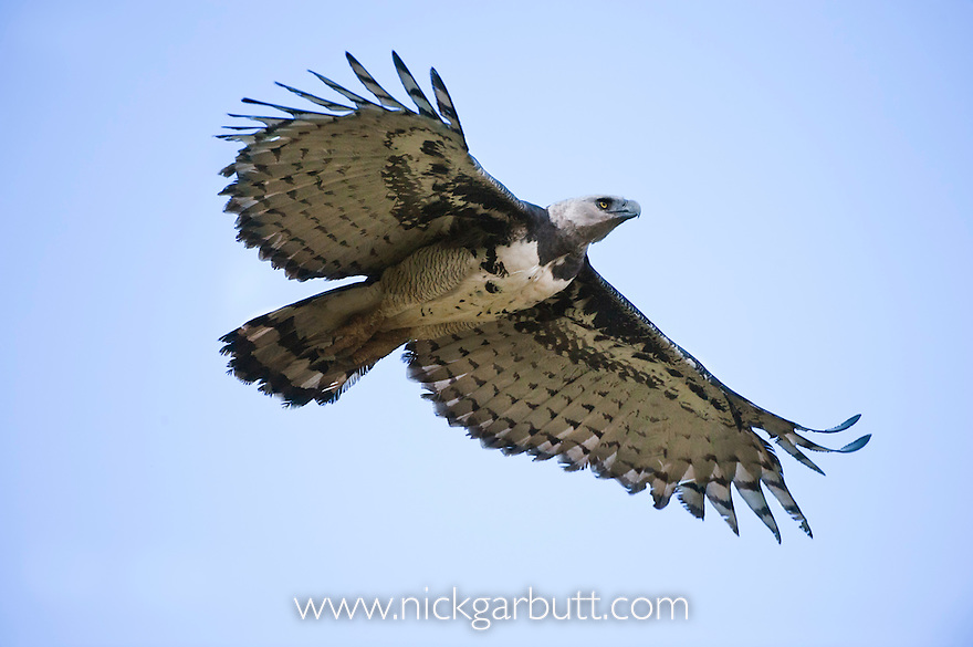 Female Harpy Eagle (Harpia harpyja) (Family Accipitridae) in flight. Returning to its nest. Pousada Currupira d'Araras, south west Brasil.