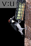 Female Acorn Woodpecker (Melanerpes formicivorus) at a suet feeder.