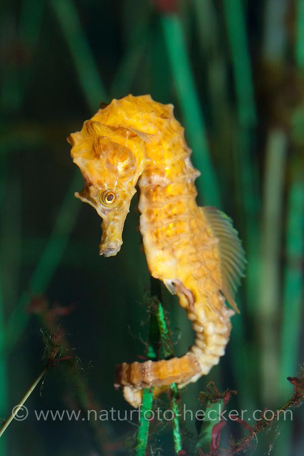 Kurzschnauziges Seepferdchen, Kurzschnäuziges Seepferdchen, Kurzschnauzen-Seepferdchen, Hippocampus hippocampus, Short-snouted seahorse, Short snouted seahorse, seahorses, sea horse, sea-horse, sea horses, sea-horses