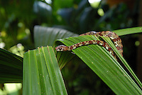 The Ringed Snail-eater, Sibon annulatus, is also called a Goo Snake or Slug Snake; La Selva, Costa Rica