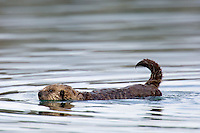 Sea Otter (Enhydra lutris) pup swimming.