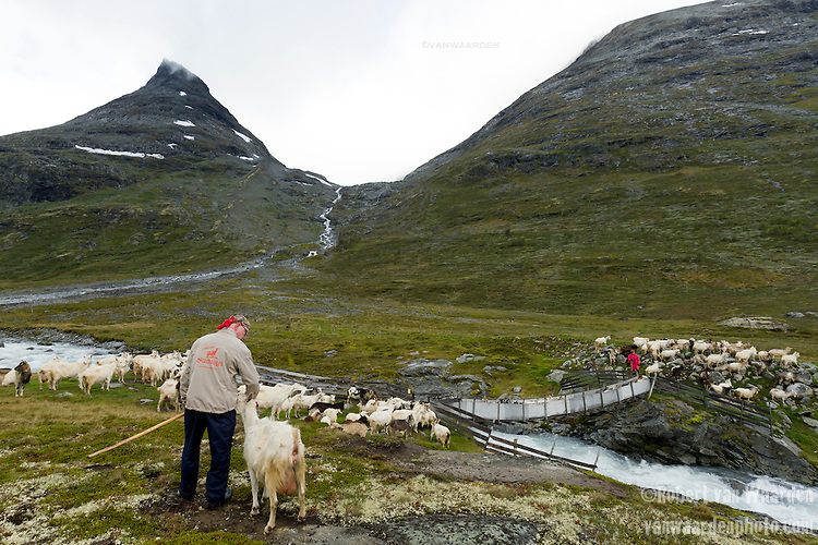 Two shepherds guide their goats across a wooden bridge for grazing in the pastures of Norway's mountains near Jotunheimen National Park.