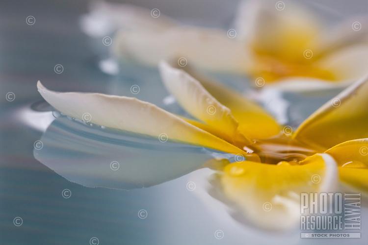 Plumeria floating in water
