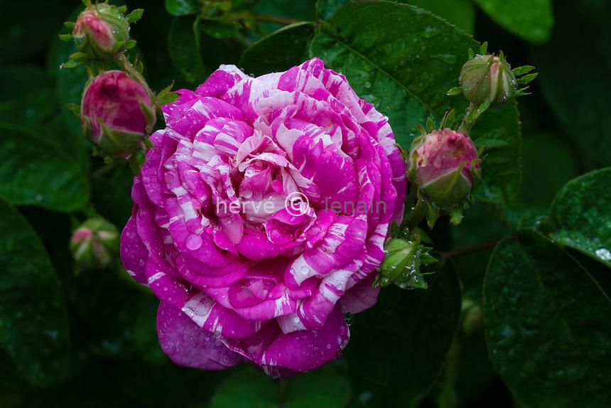 Rose 'Camaieu'