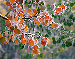 Hoar frost, aspen leaves, trees, autumn, fall, Rocky Mountains, Colorado