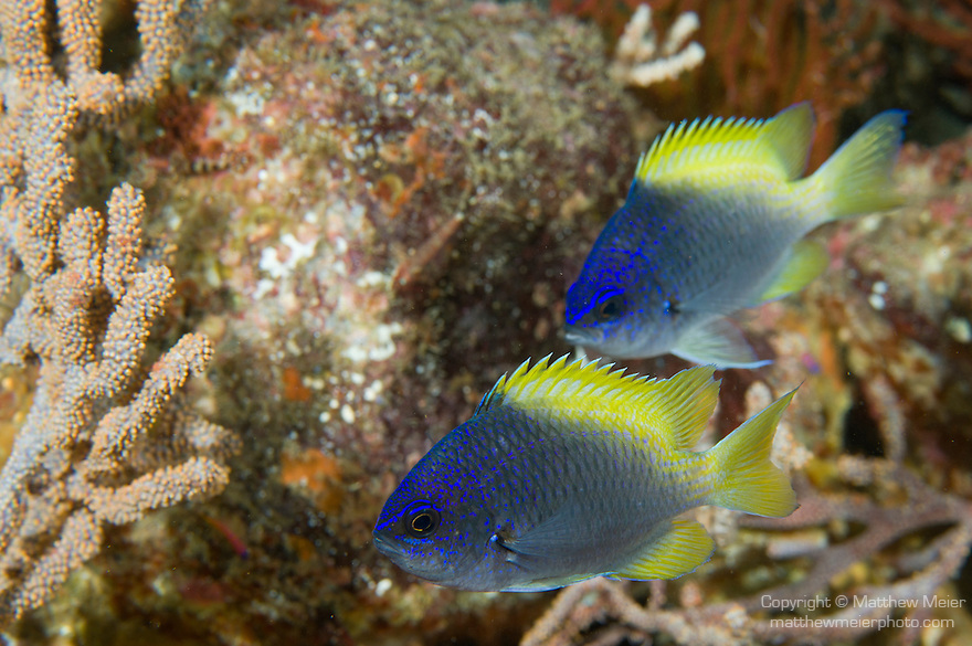 Sea of Cortez, Baja California, Mexico; a pair of juvenile Blue-and-yellow Chromis (Chromis limbaughi) fish swimming above the rocky reef