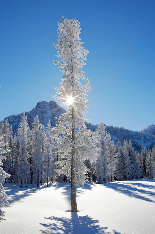 Sun through snow covered tree at Anthony Lakes in winter