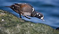 Harlequin Duck; Brant; Branta bernicla; NJ, Barnegat Light