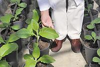 - Plantechno company at the cutting edge of scientific research on biotechnology applied to plants; the greenhouse with plants of tobacco, used for experiments about the production of biodiesel fuel with high energy efficiency<br /> <br /> - Plantechno, azienda all'avanguardia nel settore della ricerca scientifica sulle biotecnologie applicate alle piante;  serra con piantine di tabacco, utilizzate per esperimenti sula produzione di carburanti biodiesel ad alta efficenza energetica.