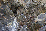 Gyrfalcon at their nest built on a cliff