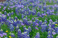 Texas Bluebonnet (Lupinus texensis), Hill Country, Texas, USA