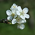 Blossom of Plum 'Swan', early April. A red dual-purpose plum originally from Sawbridgeworth , Hertfordshire, 1885.