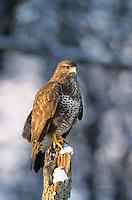 Mäusebussard, im Winter bei Schnee, Mäuse-Bussard, Bussard, Buteo buteo, common buzzard