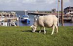 Sheep graze on grass dyke, Oudeschild Harbour, Texel, Netherlands