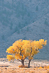 Colorful orange and golden cottonwood trees in the Carson Valley, autumn